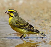 Yellow-fronted canary / Yellow-eyed canary
