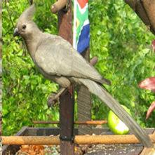 Grey lourie / Grey go-away-bird