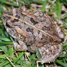 Guttural toad / African common toad