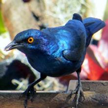 Cape starling (Cape glossy starling)