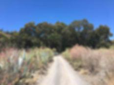 Eucaliptos_del_Barranco_de_Tecén_-_Árb