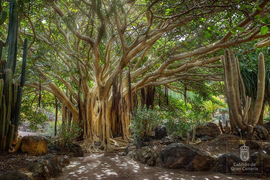 Ficus_de_Socotra_del_Jardín_Canario_-_Ár
