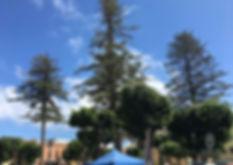 Araucarias_de_la_Plaza_de_Gáldar_-_Árbol