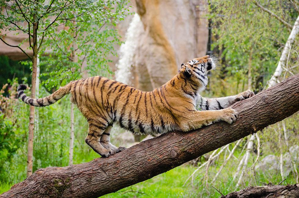 Yoga Tiger.jpg