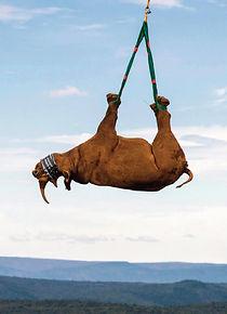 Hanging Rhino.jpg