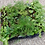 "Thumbnail: 2"" Ferns (2 Fern Plants for $5)"