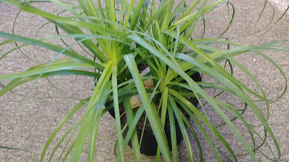 "10"" Ponytail Palm"