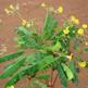 DASHAPUSHPAM: MUKKUTTI (PEETHAPUSHPA) SMALL TREE PLANT