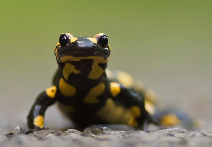 Salamandre_tachetée-cadrage[1].png