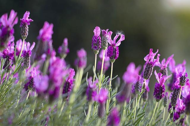 lavendar-