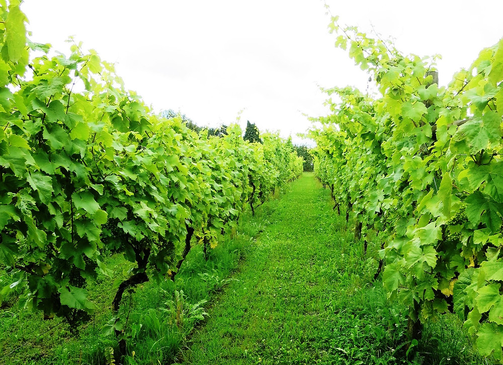 Rows of vines, showing the grass and weeds between the rows