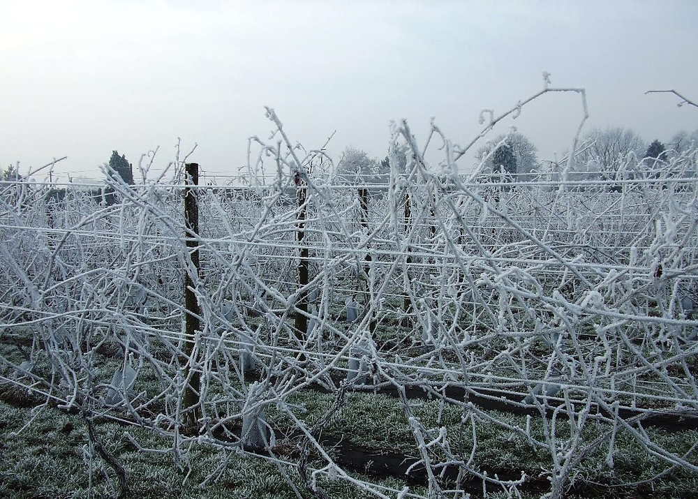 Frost on the vines at Quoins Vineyard