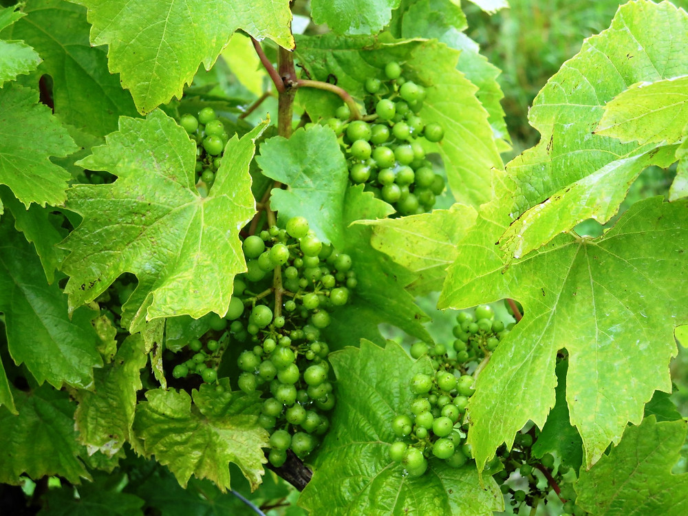 Young green grapes and vine leaves