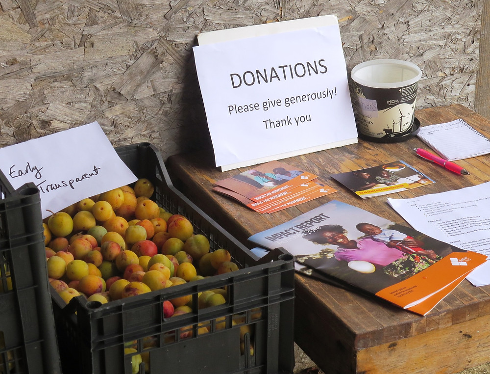 Ripe greengages and donations table for Solar Aid
