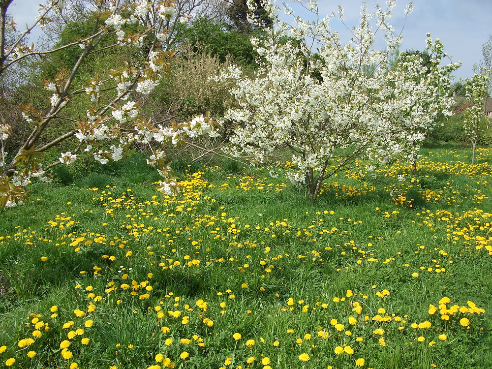 Cherry trees in bloom, with dandelions and grass