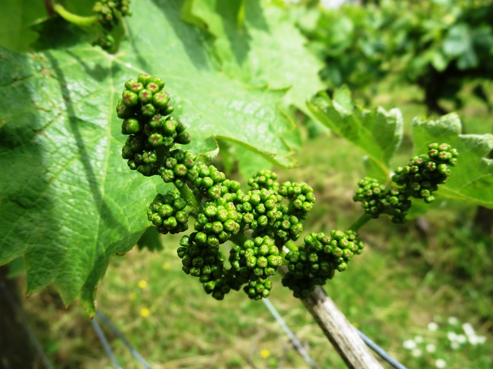 Newly formed young grapes