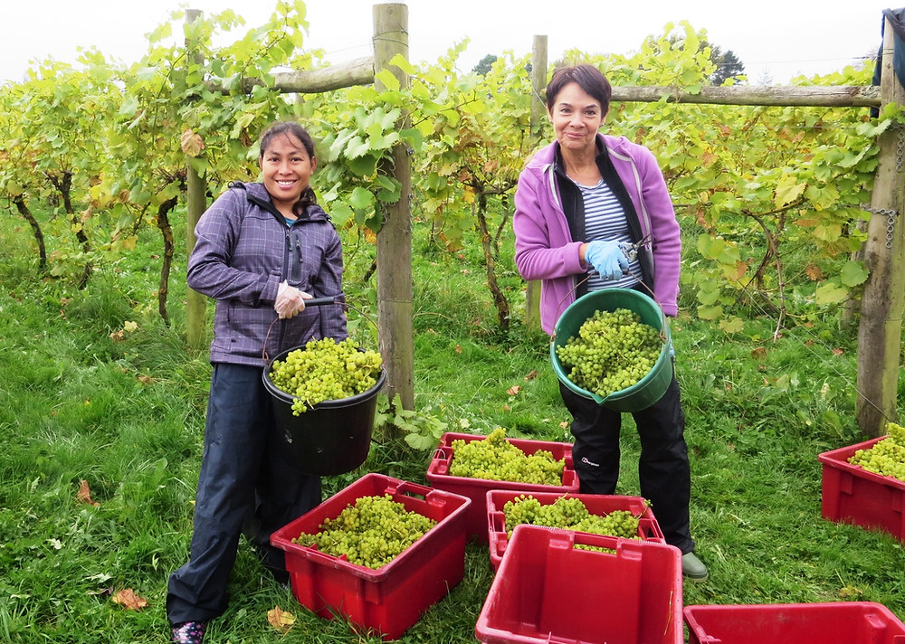 Grape harvesters with full buckets of green grapes