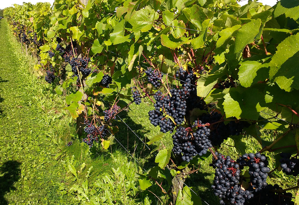 Grapes on vines ready for harvest