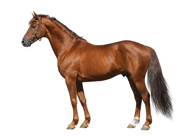 brown horse white background.jpg