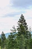 Helena Trees.jpg