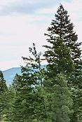 Helena Trees2.jpg
