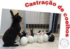 Castração de coelhos