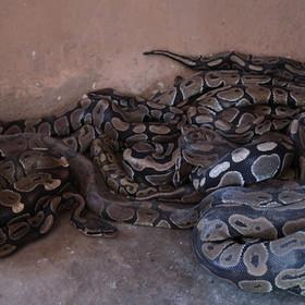 Ouidah - Python Temple