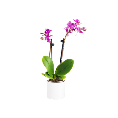 pink orchid white pot.png