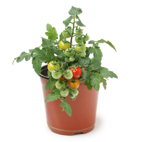 tomato plant.png