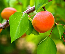 Peaches on tree