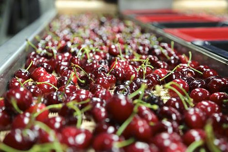 Cherries on a conveyor