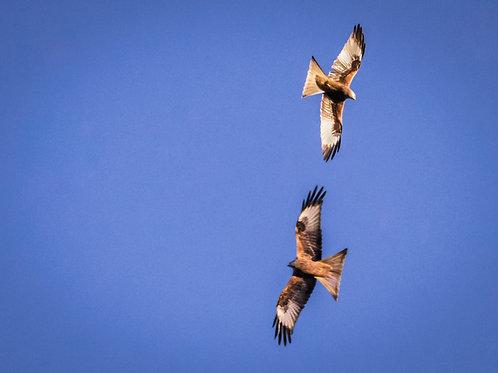 Two Red Kites