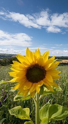 Screedy sunflower.jpg