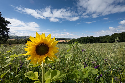 Sunflower, Somerset