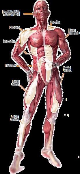 muskler.png