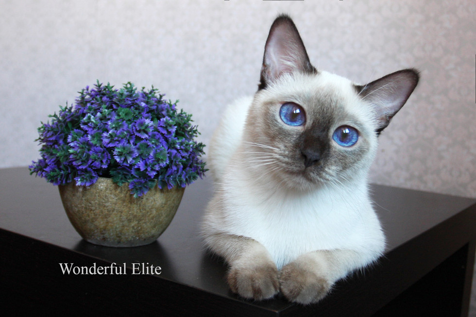 Wonderful Elite тайская кошка