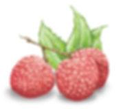Litchi Orchard Litchi Icon Sketch