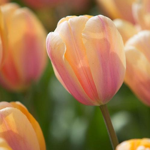 Tulip - Blushing Impression