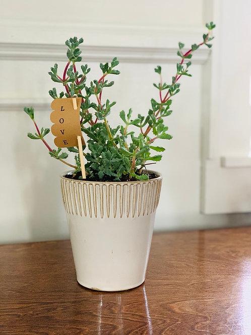 St. Valentine's Succulent