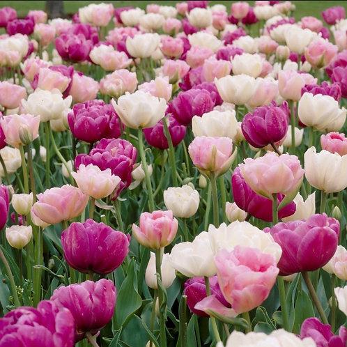 Tulip-Double Romantic Mix (Late)