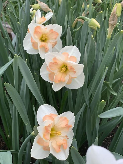 Fancy Daff (Apricot Whirl)