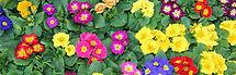 geboortemaand-februari-sleutelbloemen.jp
