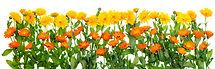 geboortemaand-oktober--goudsbloemen.jpg