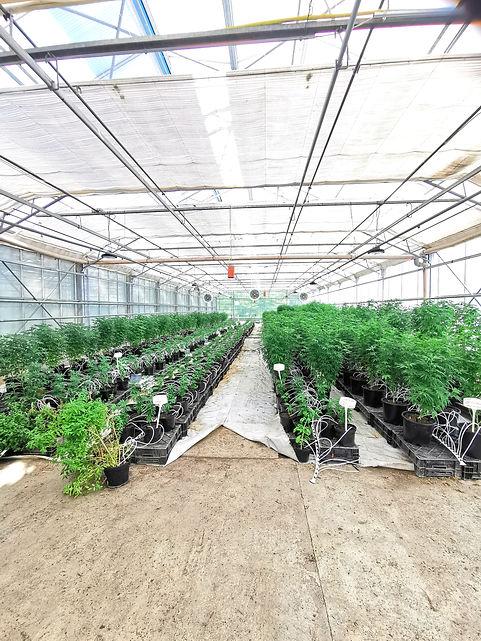 optimisation lumineuse Canabis CBD Suisse, luminaires led horticole F.O.G the futur of grow X-VEG 200w, grow light, led grow light, plante mère, mother plant, croissance