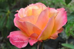 Transluscent Rose