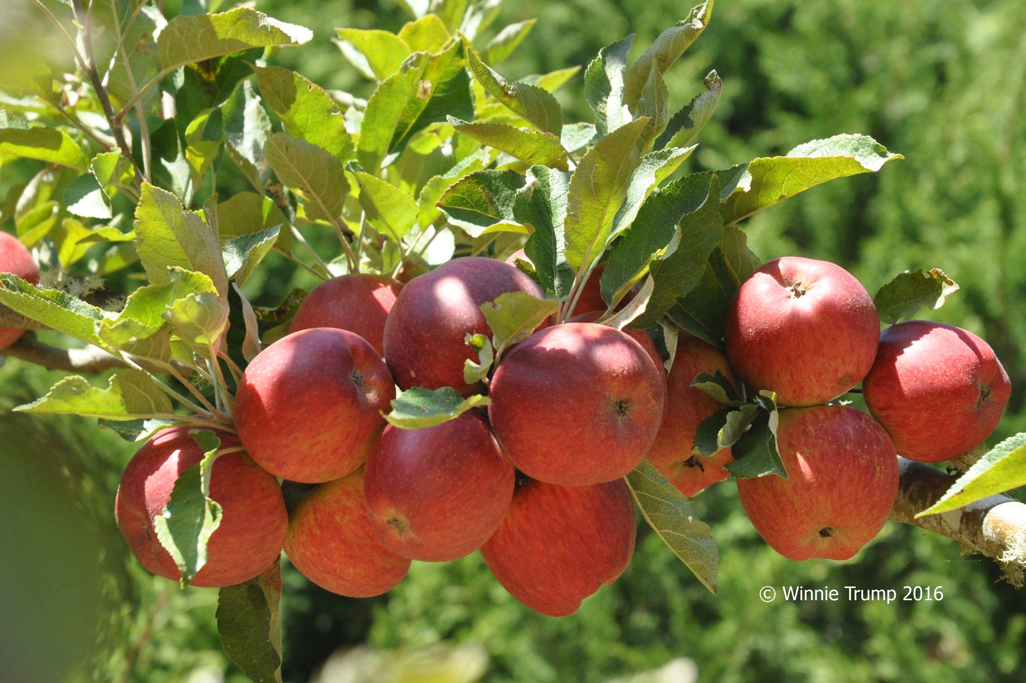 Lots o' Apples