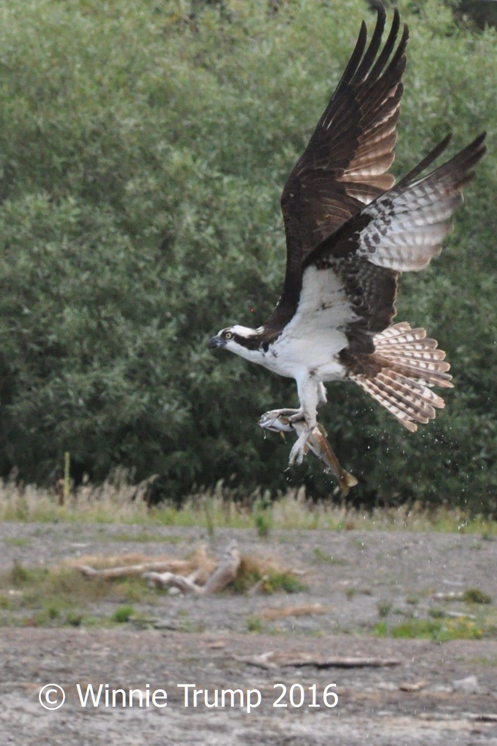 One for the Osprey