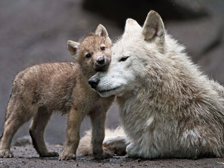 A WHITE WOLF TOGETHER WITH A WHITE WOLF PUP