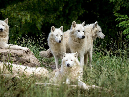 A PACK OF WHITE WOLVES TOGETHER