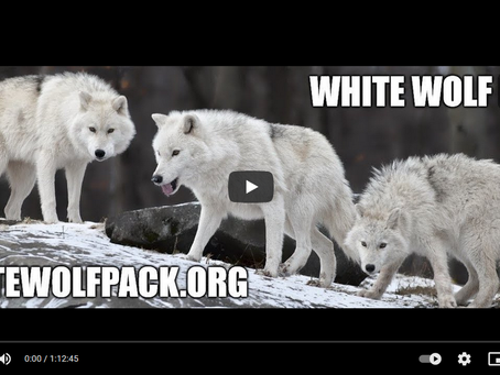 WHITE WOLF PACK - EPISODE 5 - WHAT YOU NEED TO DO TO BE A WOLF AND RUN FREE